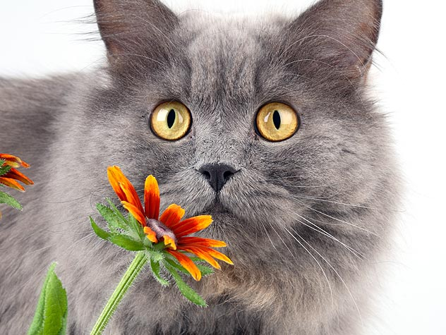 gray cat sniffing a flower