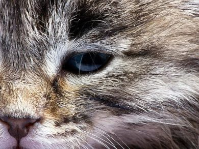cat with conjunctivitis in their eye