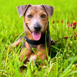 brown dog lying in the grass