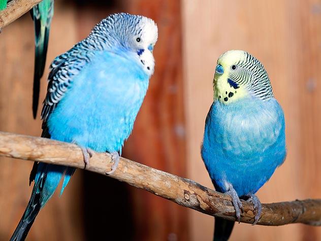 two blue parakeet budgerigars