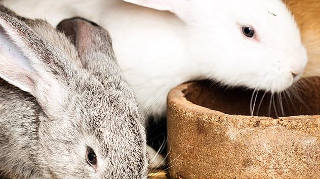 white and gray rabbits