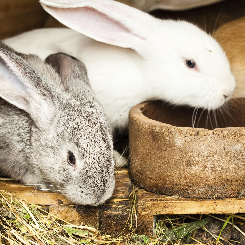 white and gray rabbits