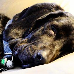 black dog lying down