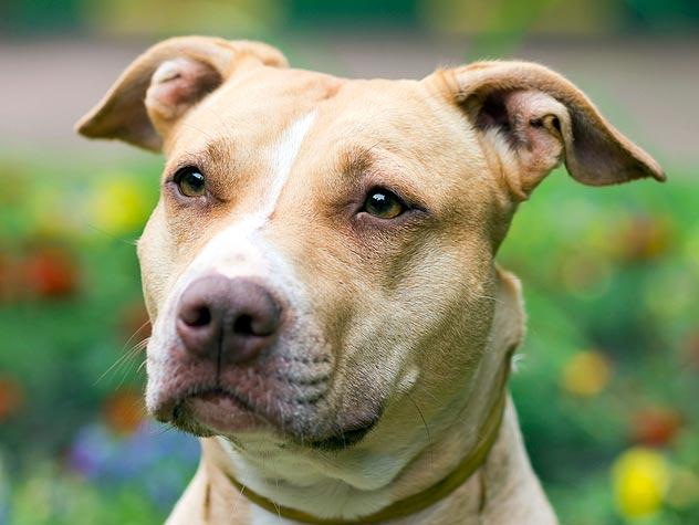 american pit bull terrier tan