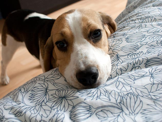 Treating A Yeast Infection In A Dog S Ears Petfinder