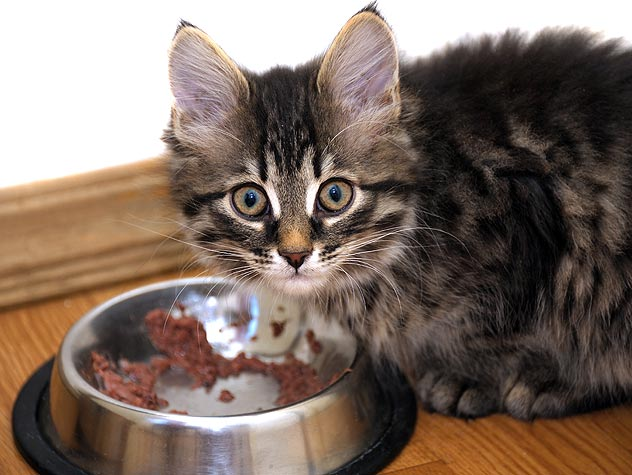 kitten eating wet food