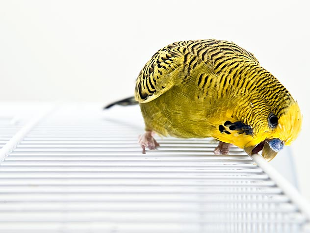 yellow parakeet budgerigar