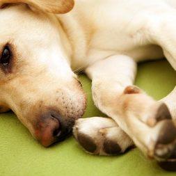 labrador dog lying down