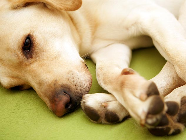 labrador dog lying down
