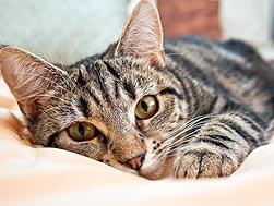 striped tabby cat