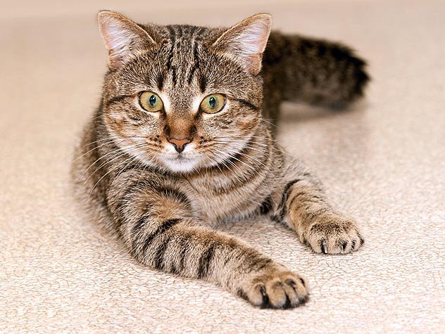 striped tabby cat