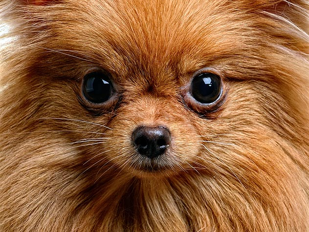 close up small dog face