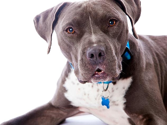pit bulls with blue collar and tag