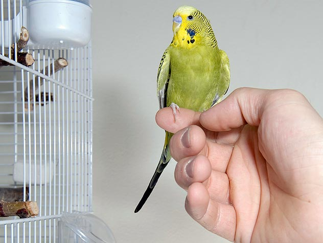 yellow parakeet on a finger