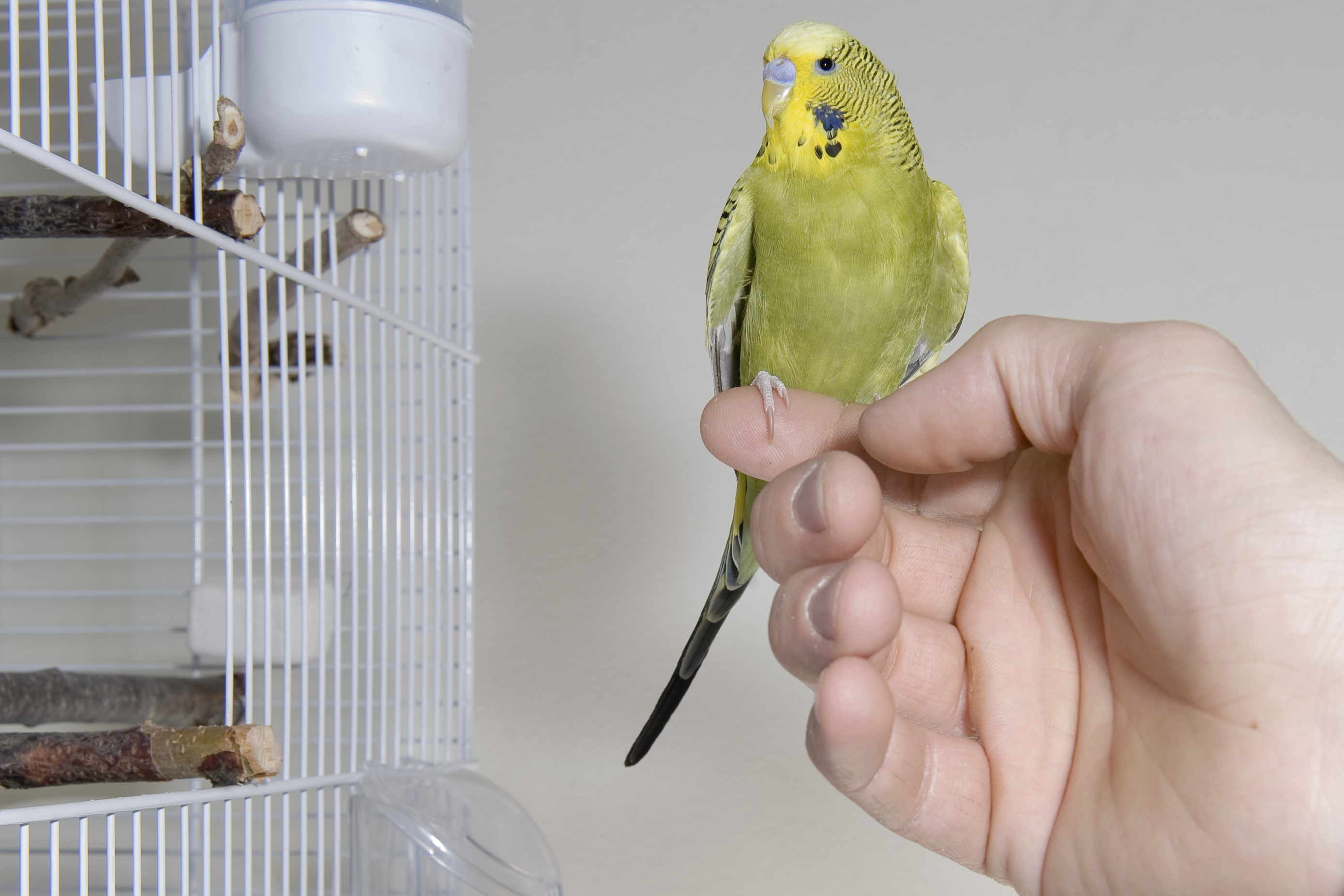 yellow parakeet on a finger
