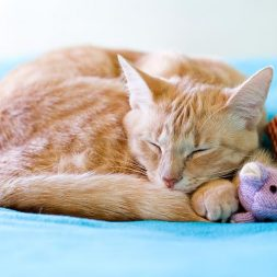 orange tabby cat sleeping
