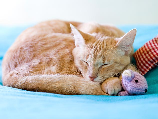 orange tabby cat sleeping