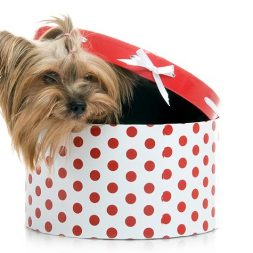 yorkie in a gift box