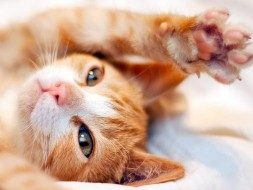 orange kitten stretching paw