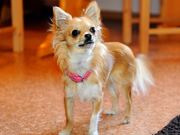 chihuahaua with pink collar