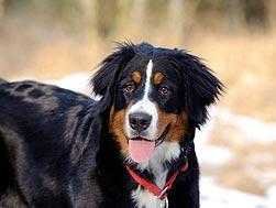 cute bernese mountain dog