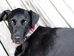 black lab with pink collar