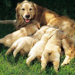 dog lying down feeding puppies