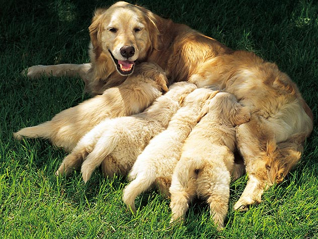 dog lying down feeding puppies