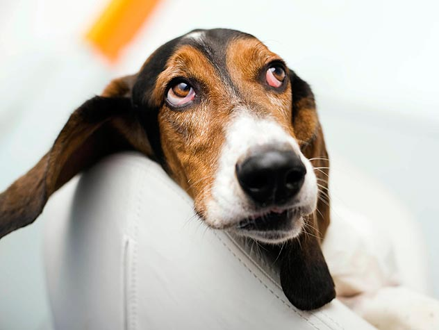 What Causes Dog Ear Infections?
