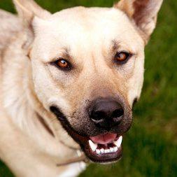smiling yellow dog