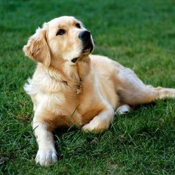 labrador lying in the grass