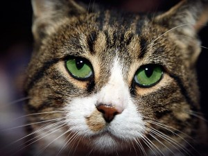 cat food for cats with IBD