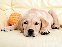 labrador puppy lying down