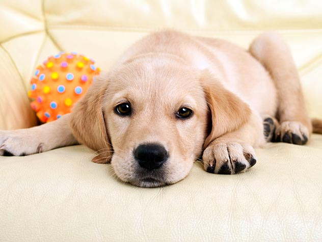 labrador puppy lying down