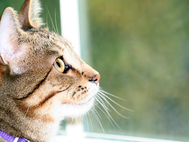 6 Reasons You Might Let Your Cat Out, And Why Not To