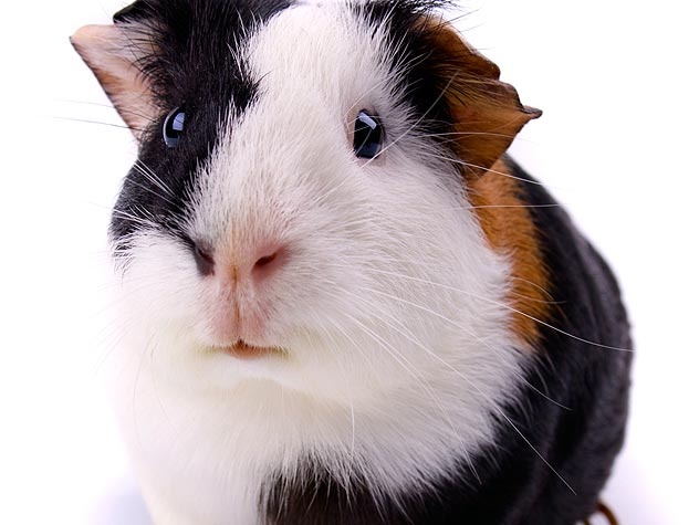 guinea pig close up