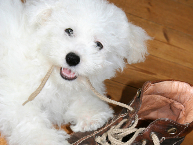 puppy eating shoes