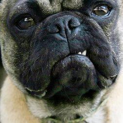 funny pug dog making a face