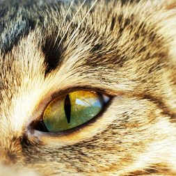 Conjunctivitis in Cats: Introduction