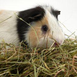 guinea pig in nest