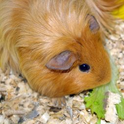 guinea pig eating lettuce