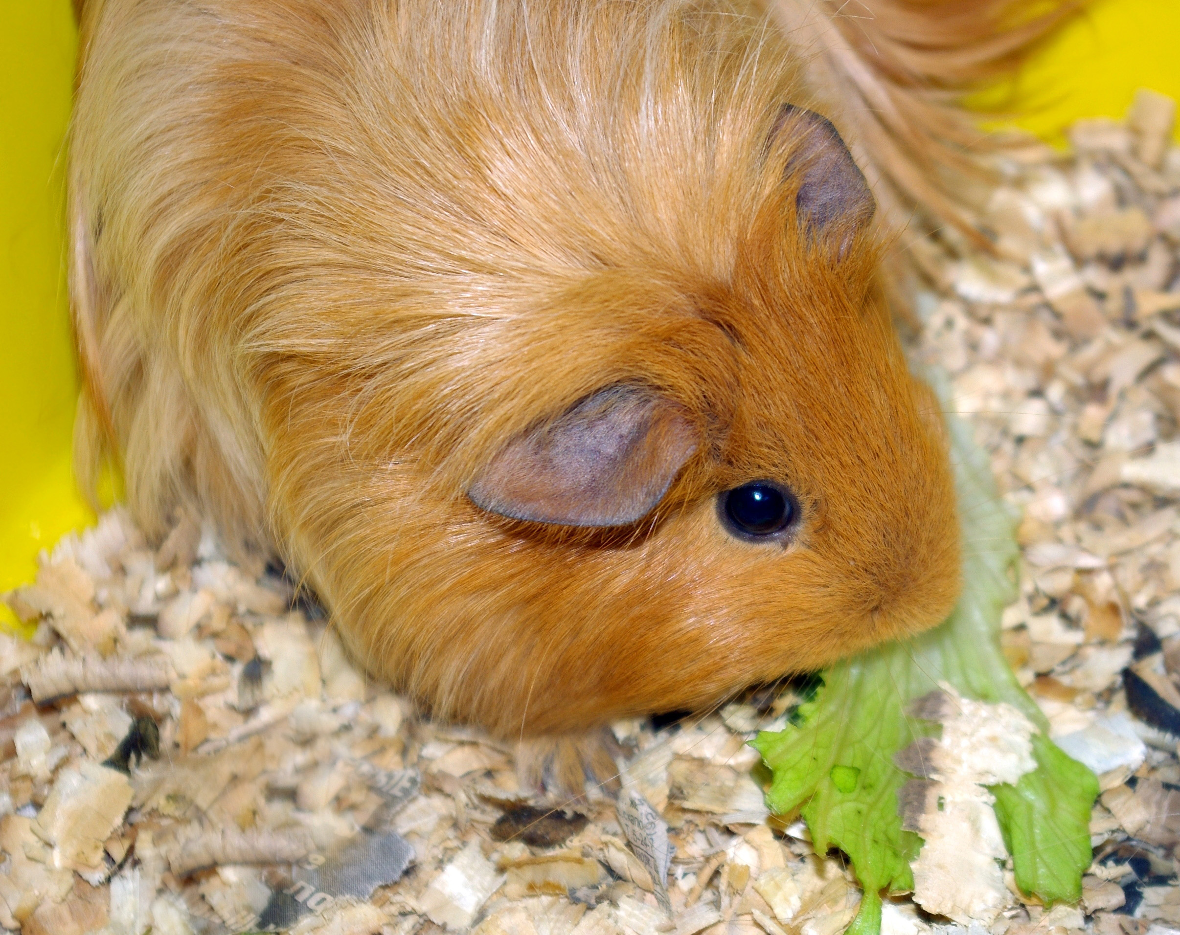 guinea pig eating lettuce