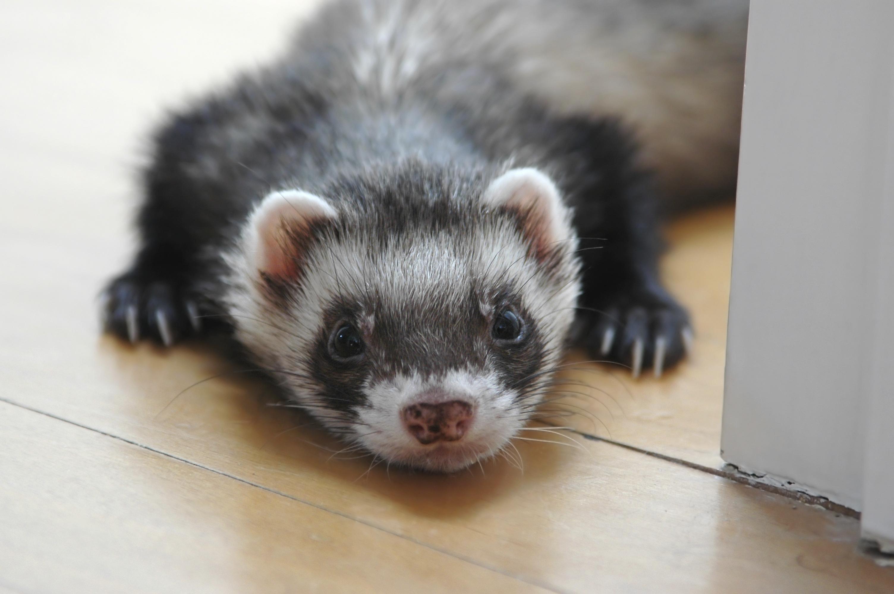 pet ferret on floor