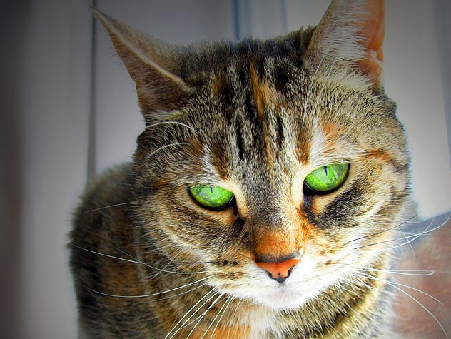 Pain Medication Poisonous to Cats