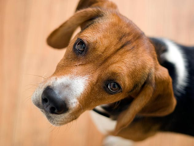Is Your Dog at Risk for Diabetes?