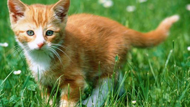 orange kitten in grass