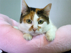 calico cat in pink bed