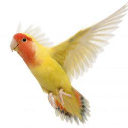 conure bird in flight