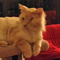 Senior cat Azlan