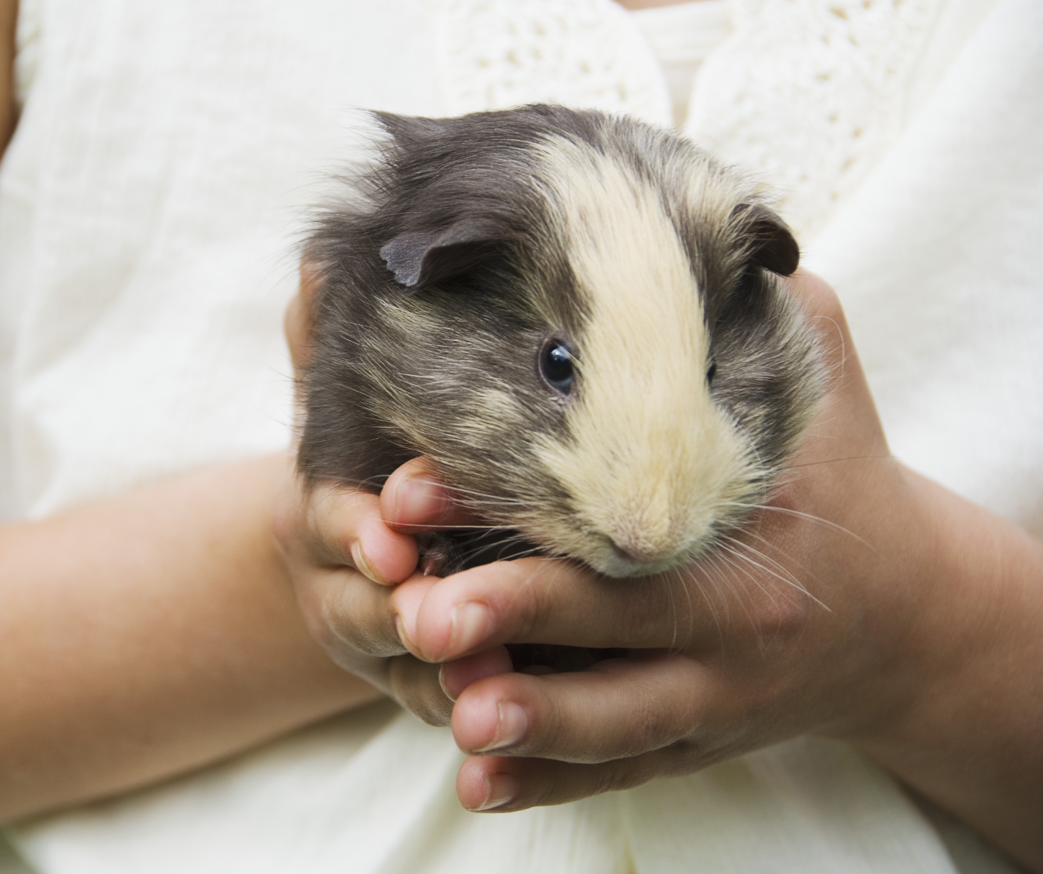 girl holding guinea pig